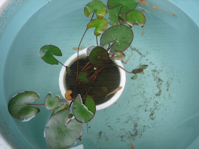 我が家の小さなビオトープ(飼育日記ブログ)