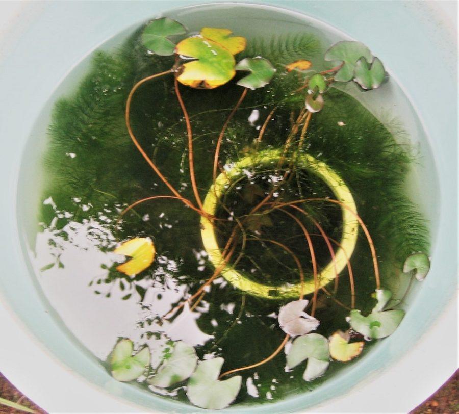 我が家の小さなビオトープ マツモ(水草)浄化が凄い