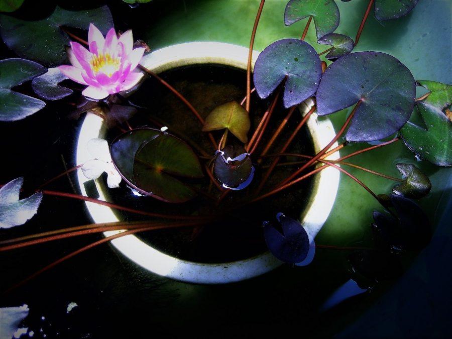 スイレンが咲いた 我が家の小さなビオトープ